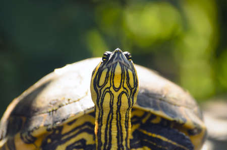 slider: The red-eared slider turtle closeup
