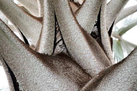 nobilis: Bottom-up closeup view to Bismarckia nobilis leaves base