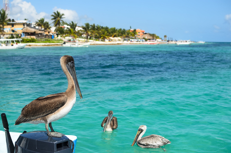 Brown pelicans in Caribbean sea next to the tropical paradise coast Stock Photo