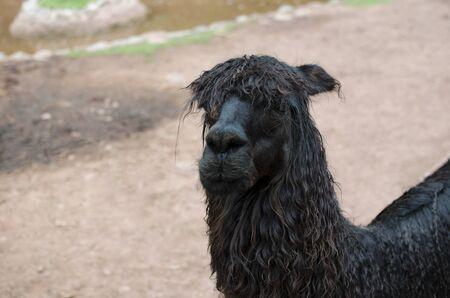 Sad alpacas portrait