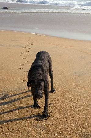 Sad wet dog slowly approaching camera at the beach