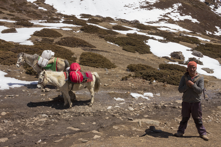 HIMALAYAS, NEPAL, 2013-03-22: male porter and two little horses carying cargo in mountains