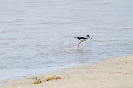 Black-necked Stilt walking in the water, looking for food