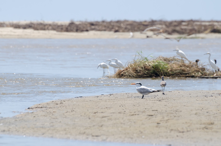 Common Tern at the beach