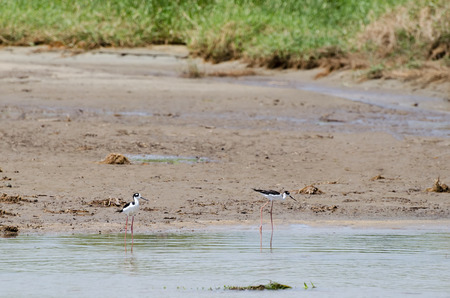 Two Black-necked Stilts at the river mouth at sandy beach