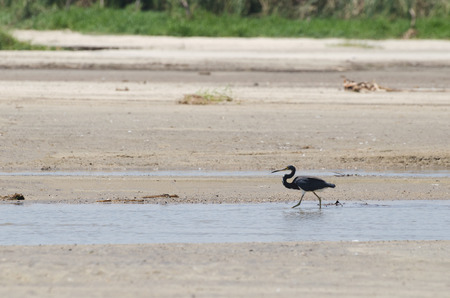 Tricolored Heron walking in the stream at the beach
