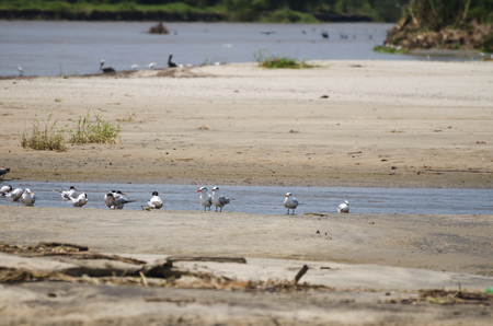 Caspian and Common Terns at sandy beach
