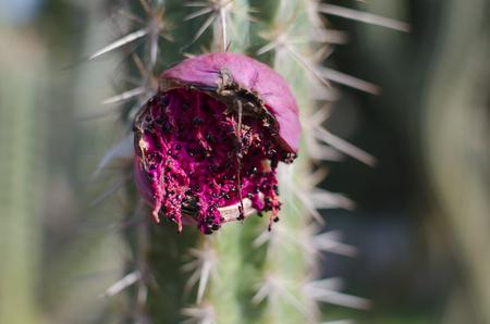 Partly eaten vivid pink cactus fruit with black seeds - closeup Reklamní fotografie