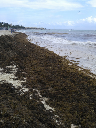 PLAYA DEL CARMEN, MEXICO, 03 JAN 2019: city public beach with huge piles of algae thrown to the shore by the tide Editorial