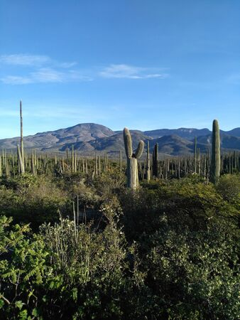 Numerous cacti covering valley in highland of Mexico.