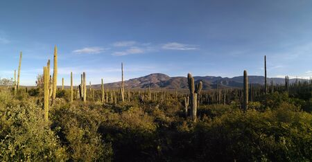 Panoramic view to valley covered with numerous cacti and mountains