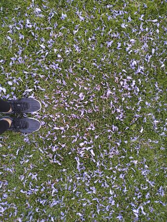 Female feet in jogging shoes standing at the green grass covered with numerous fallen purple flowers of jacaranda tree. Natural spring background