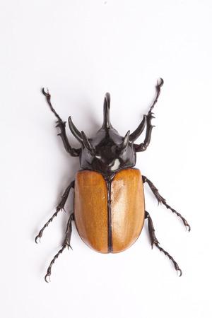 horn beetle: Rhino big horn beetle bug isolated on white background