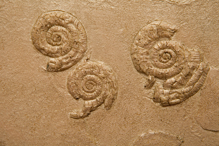 petrified fossil: fossil embedded in stone, real ancient petrified shell Stock Photo