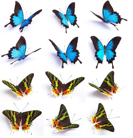 mariposa azul: Mariposa azul y colorido en el fondo blanco