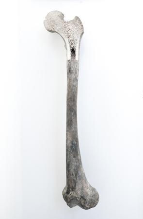Human Bone marrow structure, white background