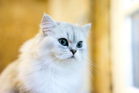 persian cat: Persian cat sitting in the room
