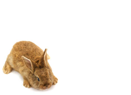 Cute young baby brown rabbit isolated on white background