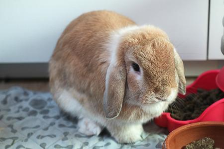 Holland lop Tros color rabbit