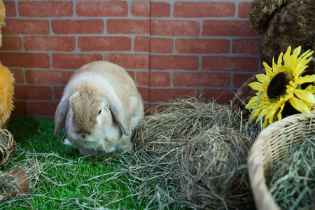 rabbit bunny holland lop eating hay and enjoy playful