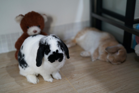 rabbit bunny holland lop black and white  color relax on the floor
