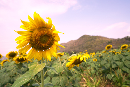 sunflower and meadow in nature background
