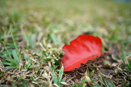 red dry leaf on the floor with little grass