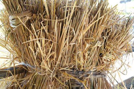 Brrown dry rice straw in thailand background and texture