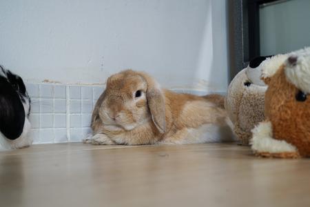 Holland lop rabbit bunny brown color fell sleepy Stockfoto
