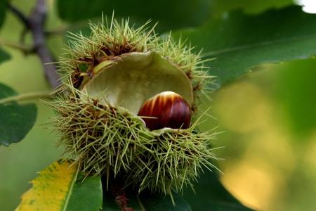 solitair: Chestnut