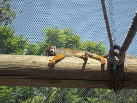 Squirrel Monkey resting in the zoo
