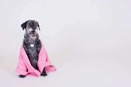 rescued: Aging grey black and white happy old dog wearing a pink bathrobe isolated on a white background while smiling and panting