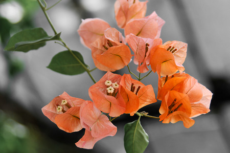 bougainvillea: Flowers Stock Photo