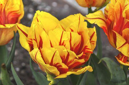 tulips: tulips Stock Photo