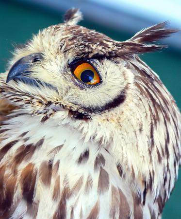 Beautiful and big owl orange eyes Stock Photo