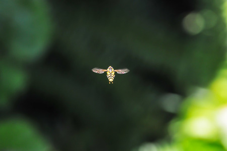 Bee hovering in the air
