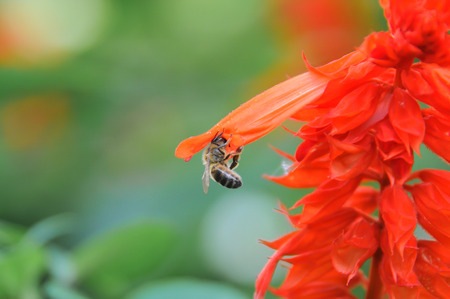 Bee collecting nectar in a red flower Stock Photo