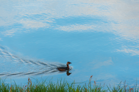 Duck on a lake with blue waters