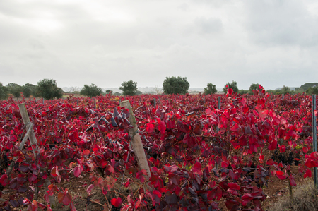 Vineyard with red leaves in autumn