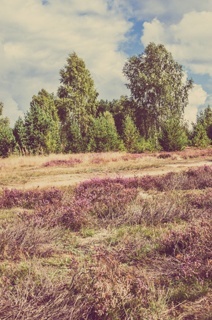 Beautiful landscape of forest with blooming heather by the rural road, vintage photo. Stock Photo
