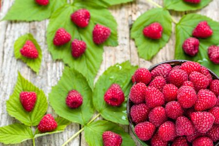 harvested: Freshly harvested raspberry fruits fresh organic harvest
