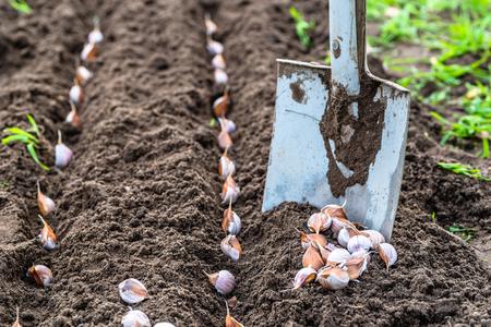 家庭菜園でにんにくを植えること。秋のガーデニング。 写真素材