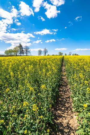 Yellow field of canola, blue sky on the horizon, landscape