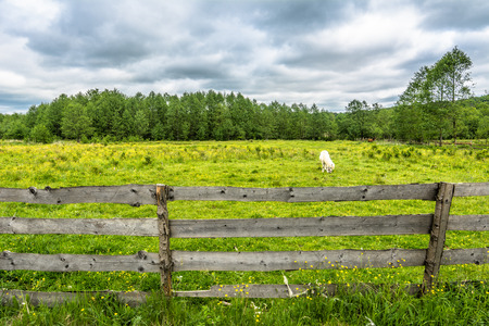 White pony on field, horse farm, countryside scenery