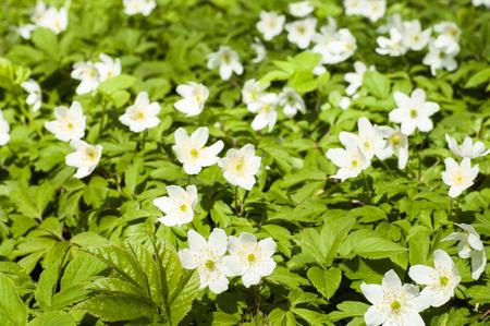 liverwort: White anemones in spring forest