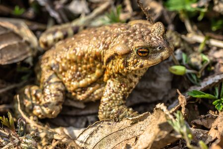 maleza: Macro of toad in the forest undergrowth, selective focus