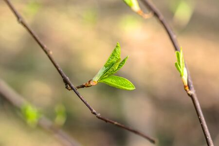 spring green: Spring green leaves, fresh buds on twig, close-up