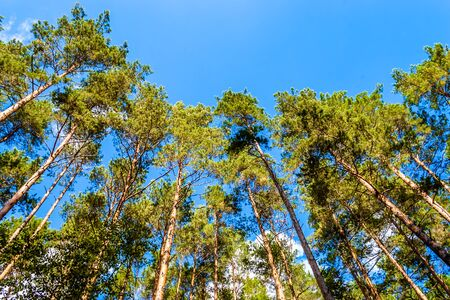 Spring forest with canopy trees on sky background. High treetops in woods. Stock Photo