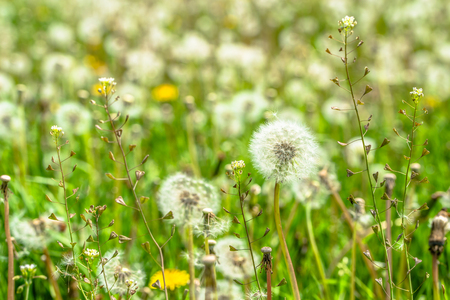 Seeds of dandelions in spring meadow on green blurred background Stock Photo