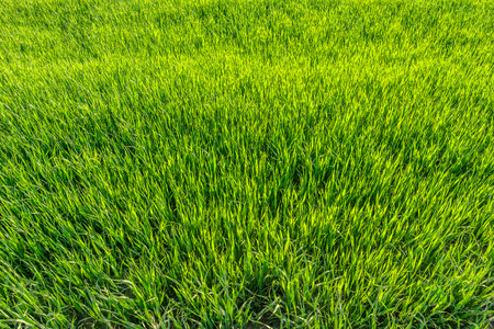 Background with green grass, texture, top view